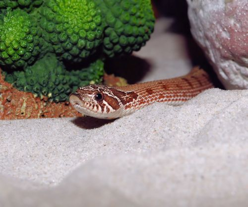 hooknose natter snake terrarium