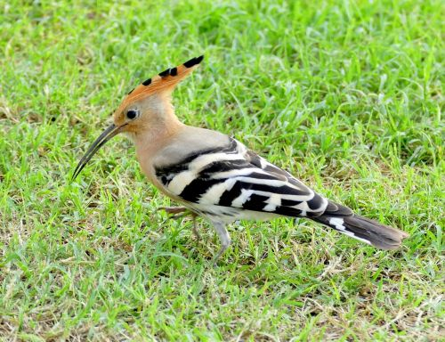 hoopoe bird species