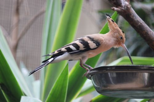 hoopoe bird zoo