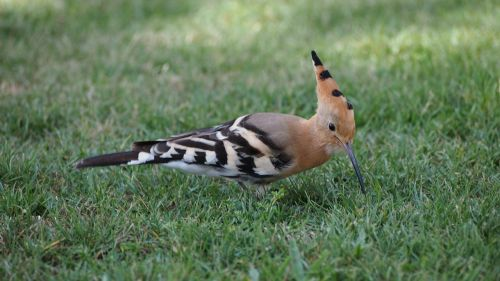hoopoe bird summer
