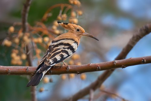 hoopoe  winter  bird