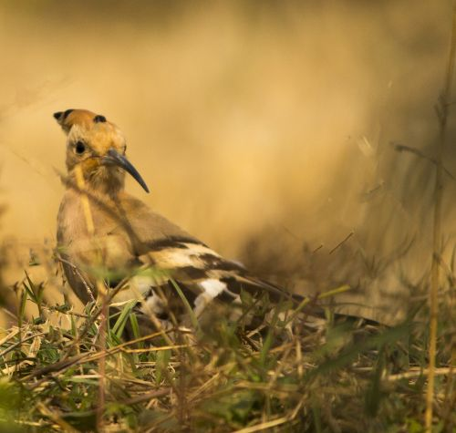 hoopoe bird nature