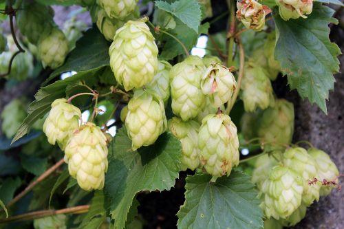 hop hop cones plant