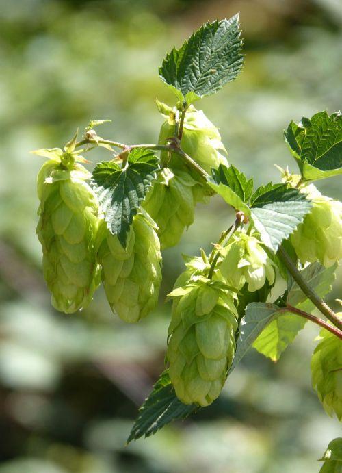 hop hops wild flower of the hops