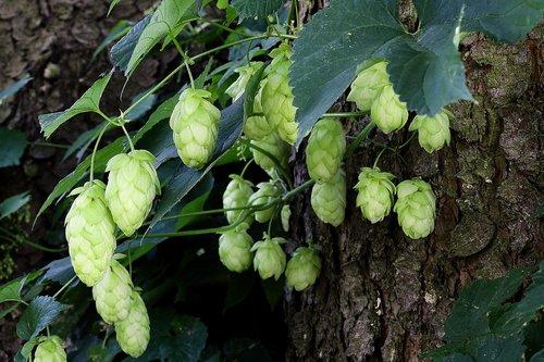 hop cones  plant  hop