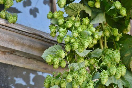 hop harvest hop vines umbel