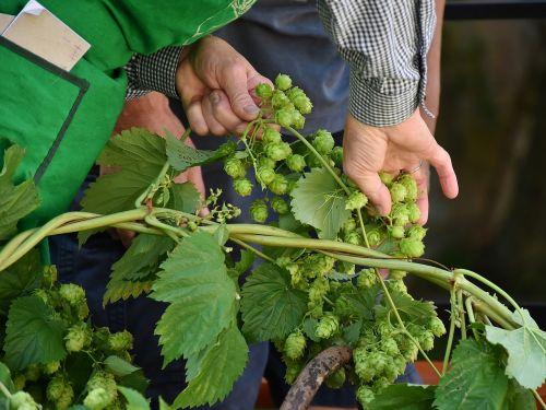 hop vines hops hops plucking
