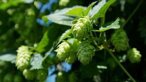 hop vines hops hop garden