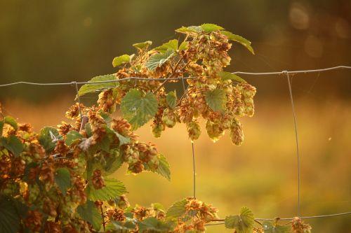 hops plant umbel