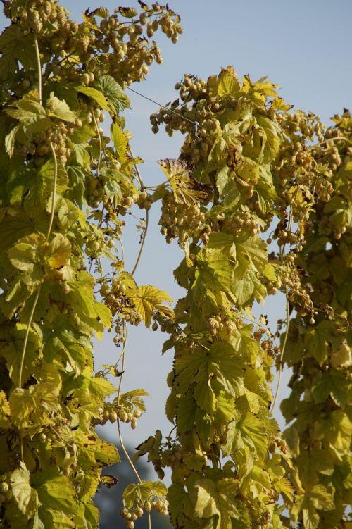 hops climber umbel