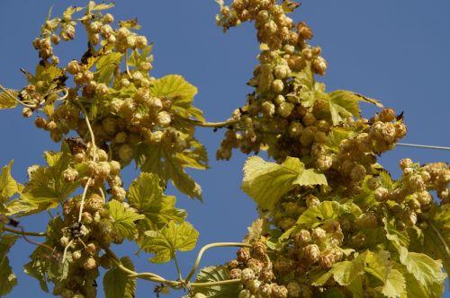 hops genuine hops umbel
