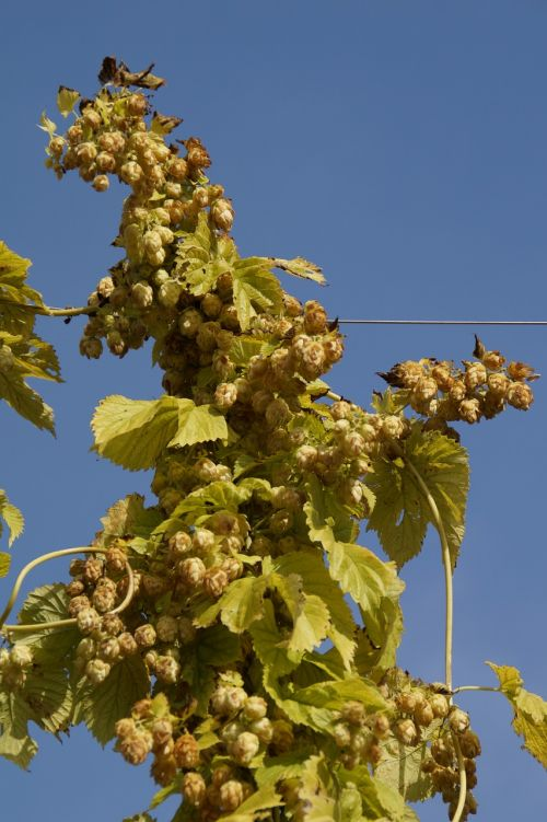 hops hops fruits umbel
