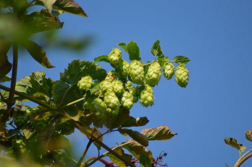 hops nature plant