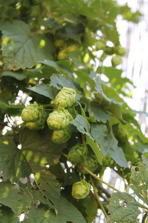 hops beer plant