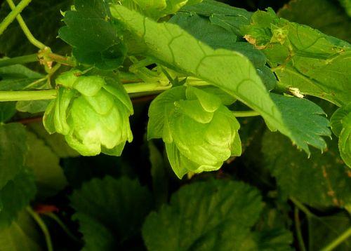 hops beer green