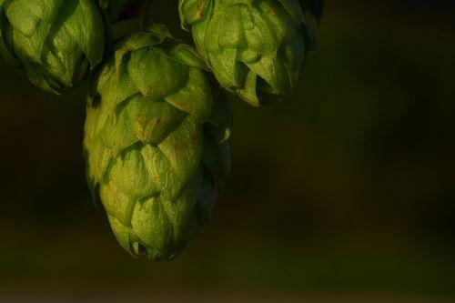 hops hops flower green