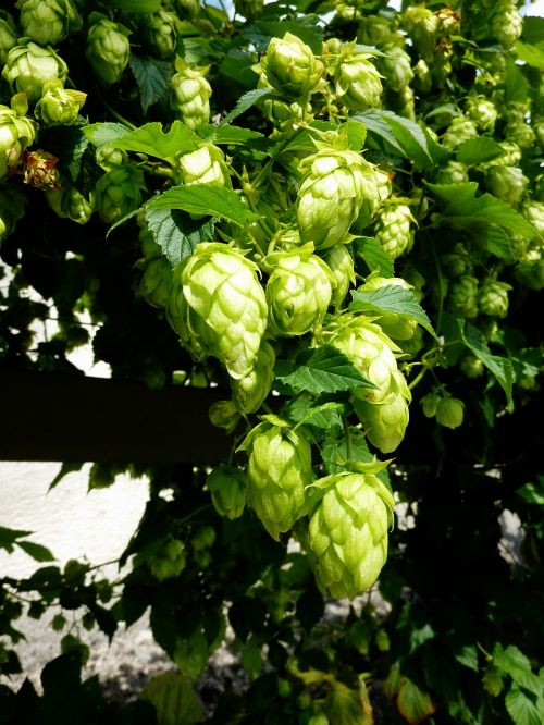 hops beer umbel
