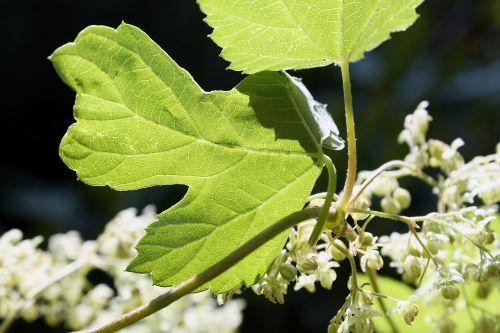 hops flowers climber