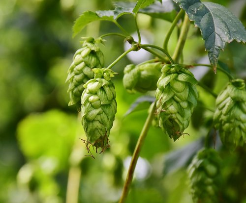 hops  umbel  growth
