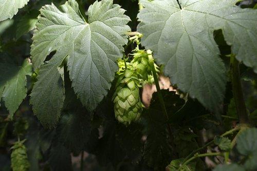 hops  hops flower  hop plant