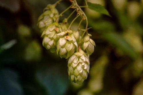 hops  plant  hops flower