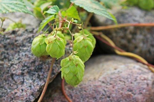 hops  hemp plant  medicinal plant
