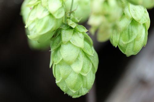 hops humulus lupulus climber