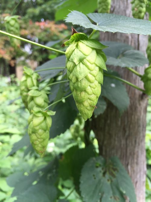 hops green plant