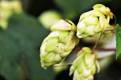 hops flower hops green