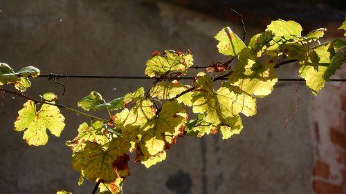 hops rotary hops leaf hops