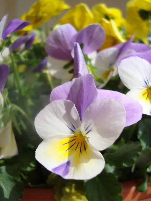 horn violet flowers plant