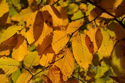 hornbeam tree autumn