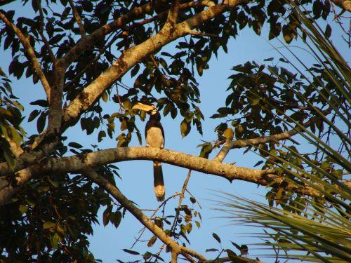 hornbill malabar pied bird
