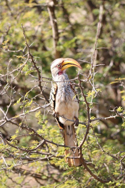 hornbill bird wildlife