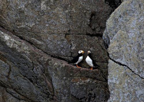 horned puffins ledge birds