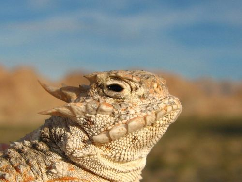 horned toad lizard camouflage