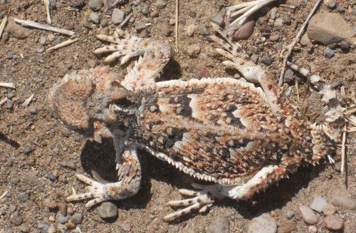 horned toad camouflage lizard