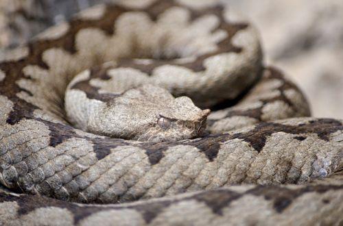 raguotas viperis,viper,gyvatė,rudas raguotas voveris,vipera ammodytes,rudos gyvatės,pavojingas,gamta