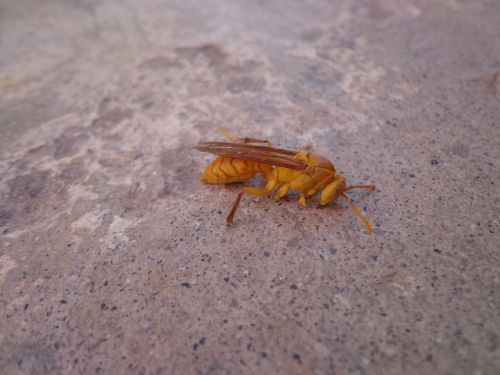 hornet insect sting