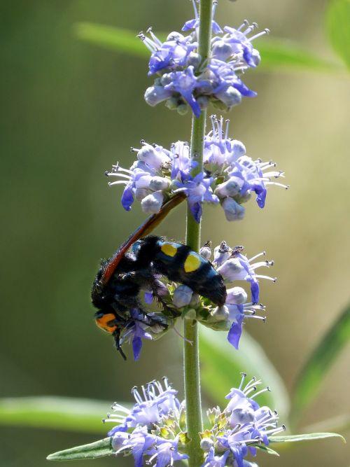 hornet megascolia maculata wild flower