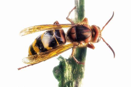 hornet queen insect