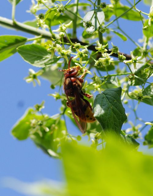 hornet insect nature