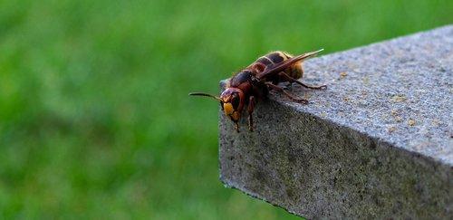hornet  vespa crabro  insect