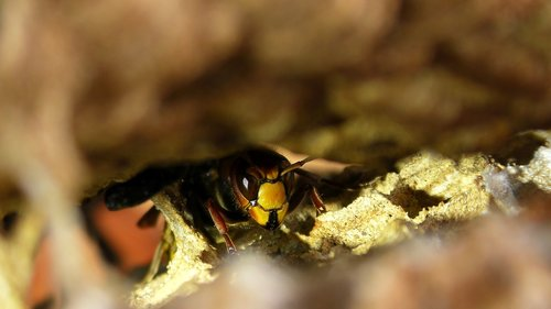 hornet  insect  close up