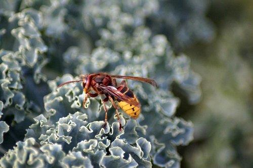 hornet  vespa crabro  vespidae stubs
