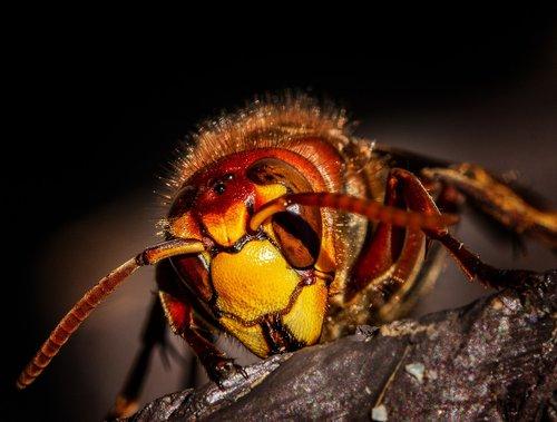 hornet  hornets  wasps