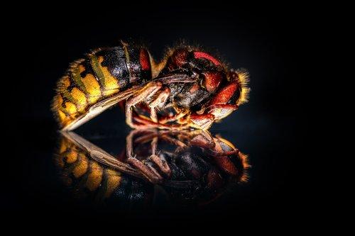 hornet  hornets queen  queen
