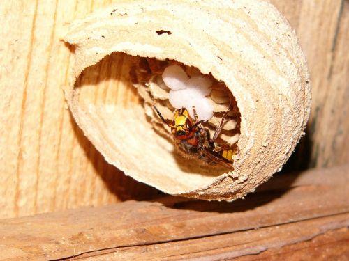 hornet hornissennest nature