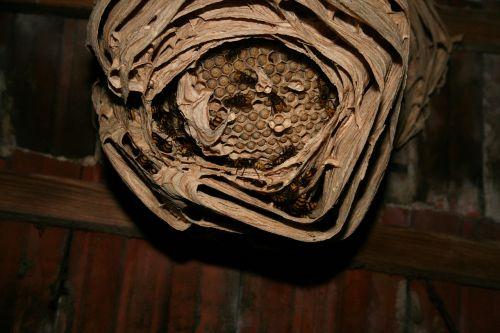 hornet hornissennest engraving