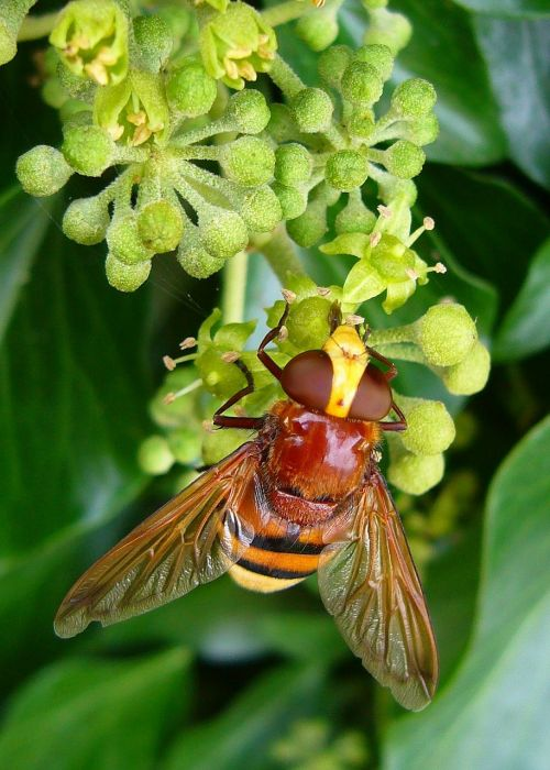 hornet mimic hoverfly volucella zonaria insect